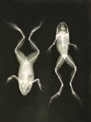 frog x-rays .jpg
